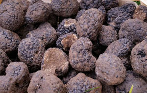 Now for fresh Black Winter Truffles: gourmet delights from Italy's Blue Mountains: 50g