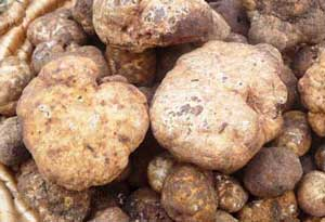 White Spring Truffles, fresh from Italy: 100g for only £49